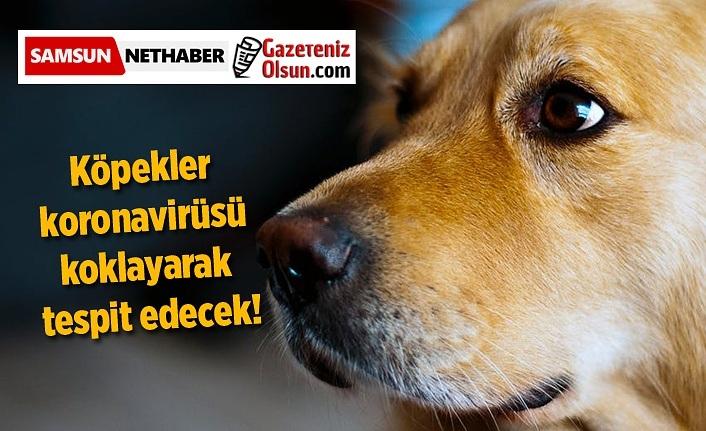 Köpekler koronavirüsü koklayarak tespit edecek!