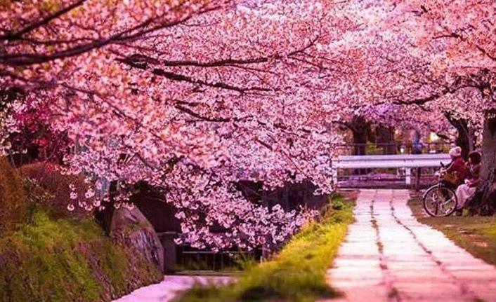 Sakura nedir, Sakura ne demek? Sakura çiçeğinin özellikleri