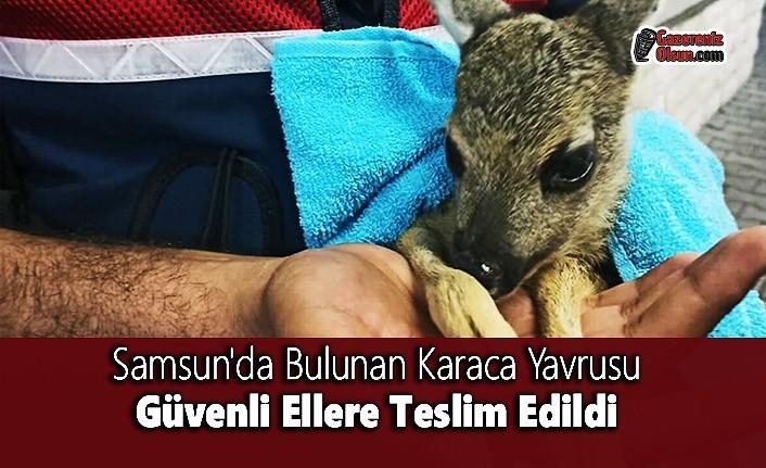 Samsun'da Bulunan Karaca Yavrusu Güvenli Ellere Teslim Edildi