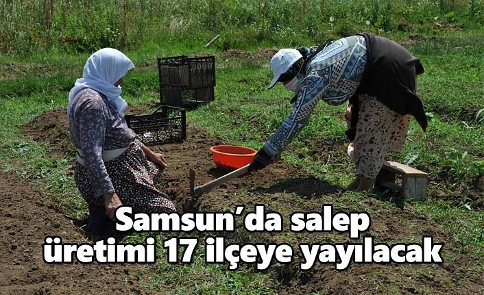 Samsun'da salep üretimi 17 ilçeye yayılacak