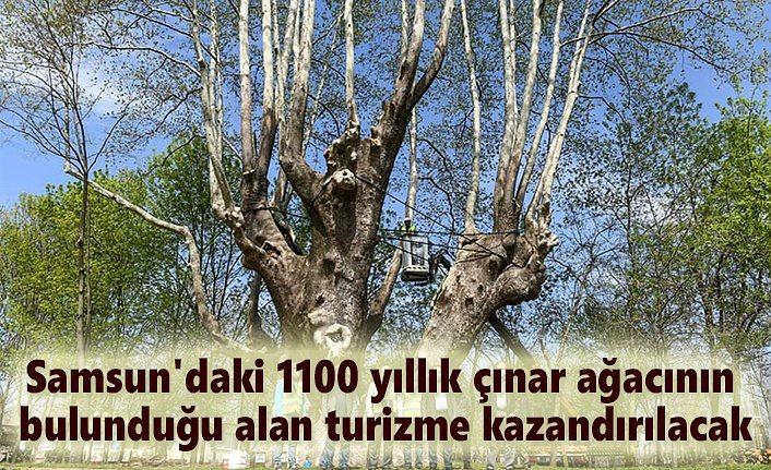 Samsun'da bin 100 yıllık tarihi ağaca bakım