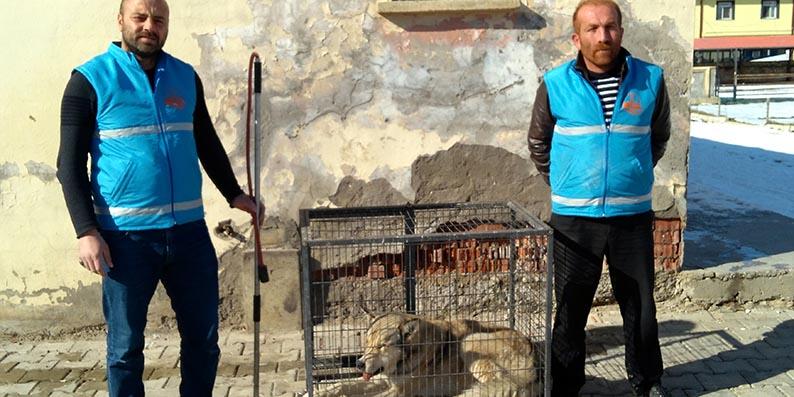 Bayburt'ta kent merkezine inen kurt yakalandı
