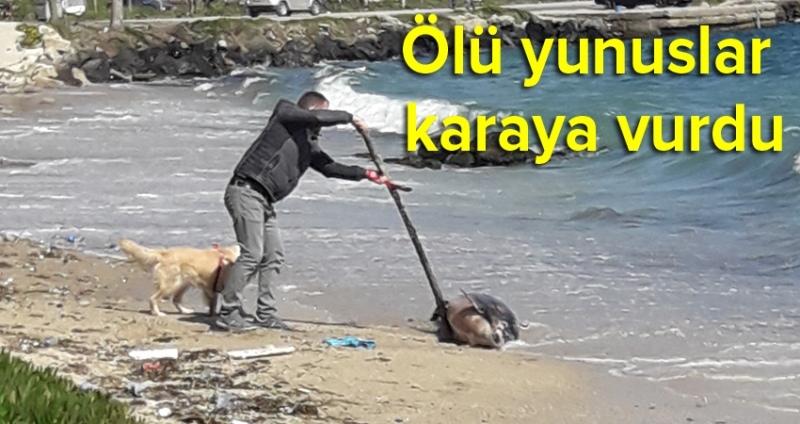 Karadeniz'e ölü yunuslar karaya vurdu