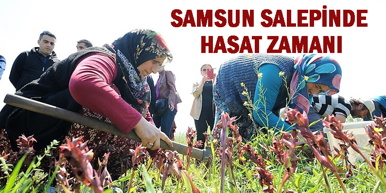 Samsun'da orkide hasatı başladı